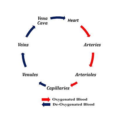 blood flow circle